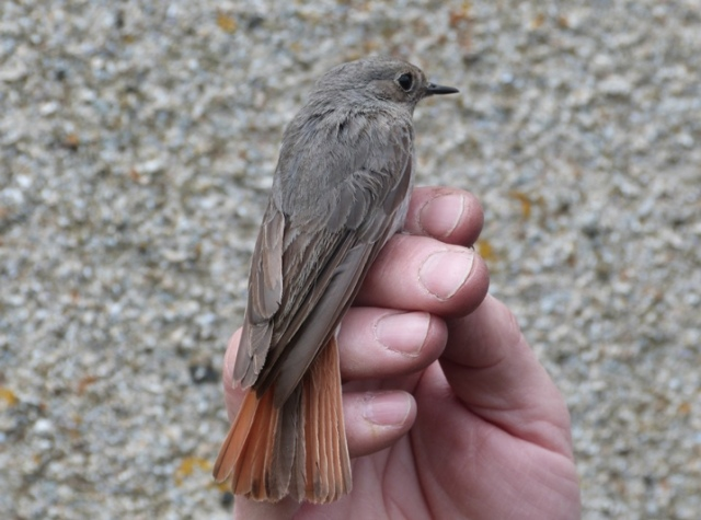 Black Redstart migrating through (caught and ringed)