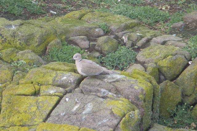 A scarce visitor to the May; a Collared Dove arrived