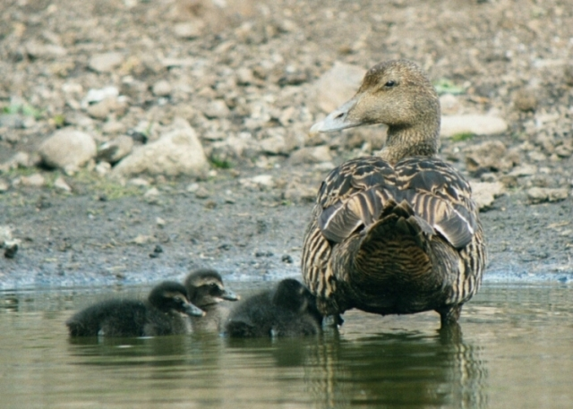 Great mothers with great ducklings