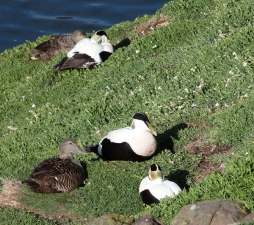 Eiders galore...almost 1,000 pairs nest on the May