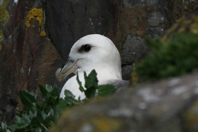 First Fulmar discovered on 13th May...nesting time.