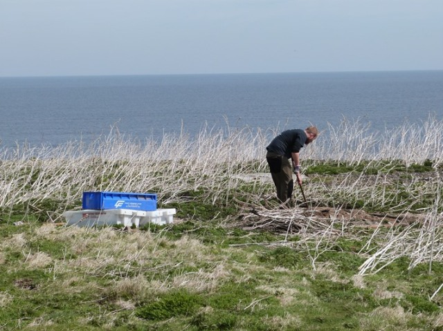 Working hard to prepare areas for ground nesting Arctic Terns