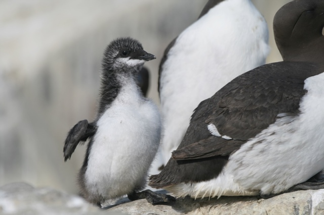 Our first Guillemot chicks hatched over the weekend
