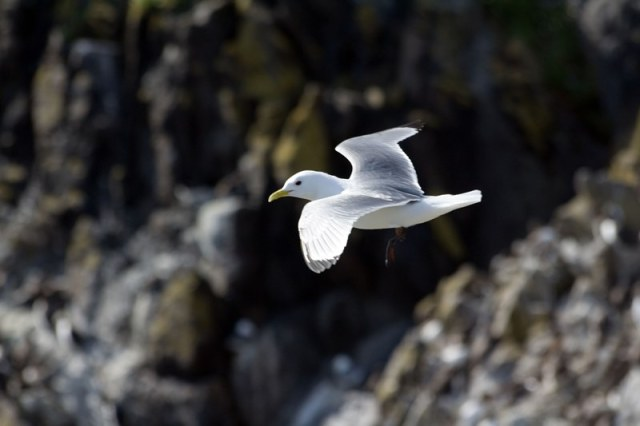 Kittiwake in flight...more are now on eggs (Michael Christie)