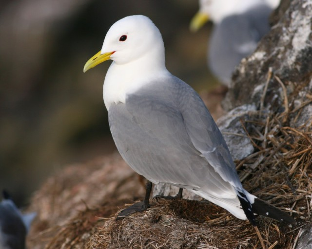 Stunning kittiwake; now on eggs!