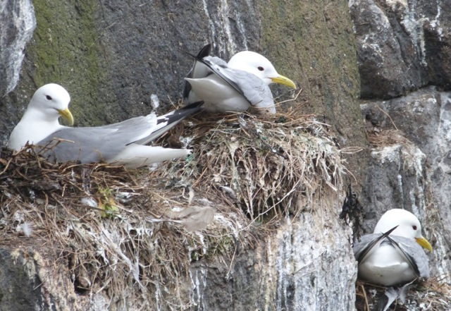 Kittiwakes sat on nests, making them easier to count.