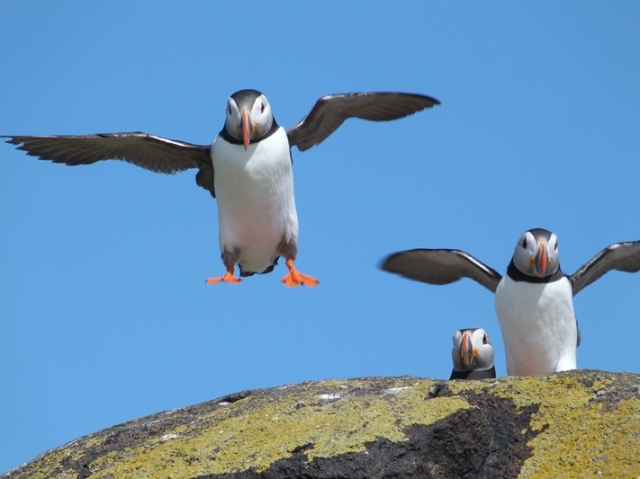 Green light to land...Puffins in the wind