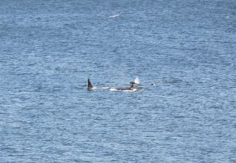 Killer Whales; two of six seen today off the Isle of May (Iain English)
