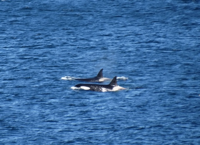 Impressive! Killer Whales off the Isle of May today (Stuart Rivers)