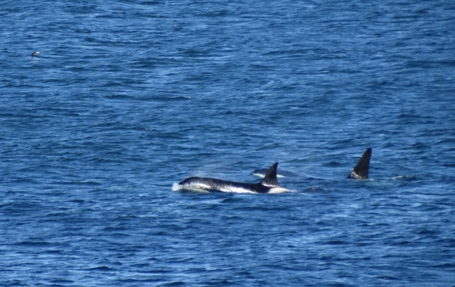 At least six Killer Whales off the Isle of May today (Stuart River)