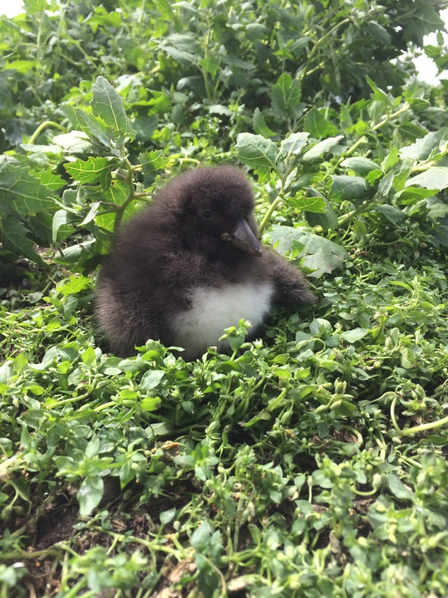 You never see them (they remain underground) but this is a two week old Puffin chick!