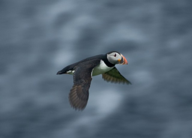Puffin in flight over the May (Michael Christie)