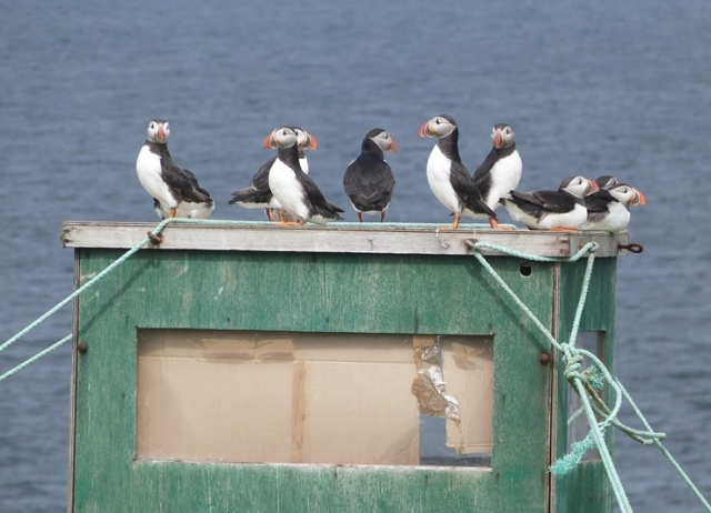 Puffin research hide being taken over...by Puffins!