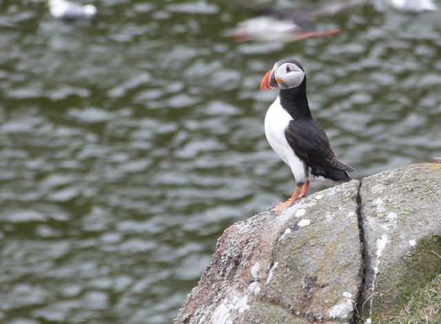 Puffins do 'rock'