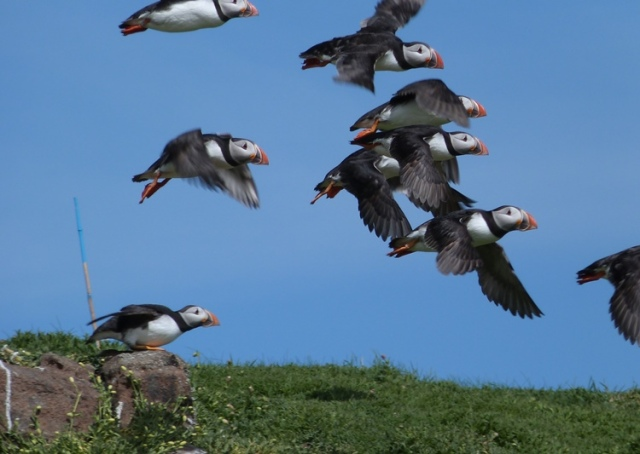 Puffins galore having been to sea for the last few days avoiding the bad weather