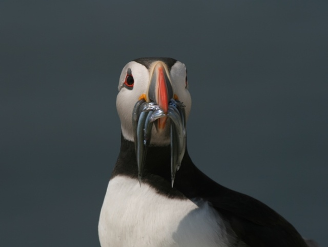 Hungry mouths need feeding...Puffins with Sand-eels