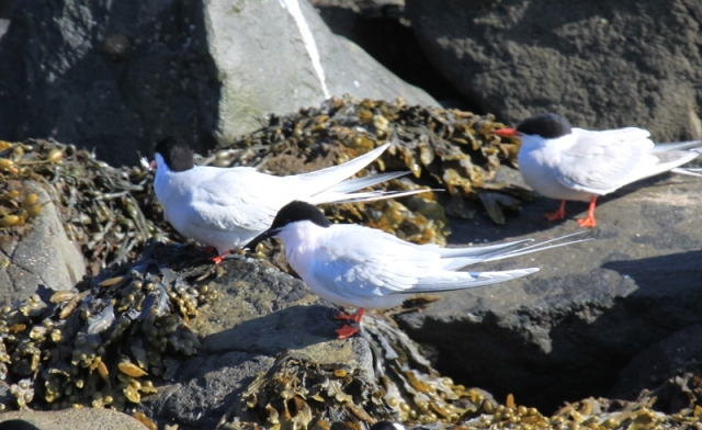 First Roseate Tern of the year arrived Saturday