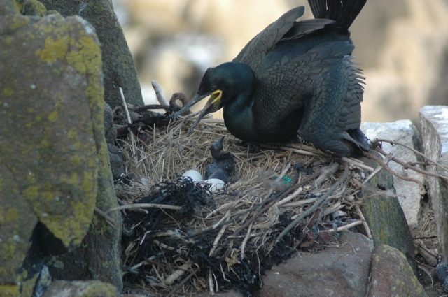 Proud Shag mother with chicks (Carrie Gunn)