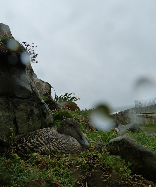 Contrast to yesterday; soggy Eiders (Yes it was grim out here)