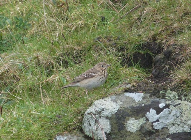 An impressive number of Tree Pipits arrived on the May
