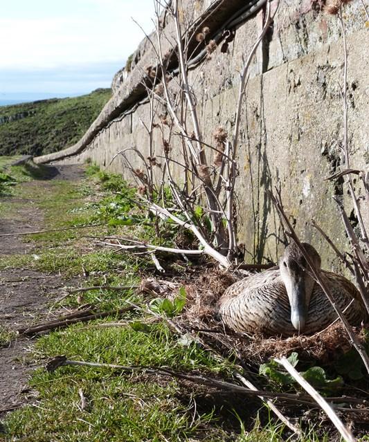Watch your feet! Female Eider nesting on Palpitation Brae