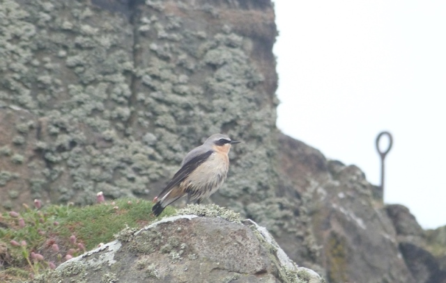 Looking a bit damp; one of a handful of Wheatears