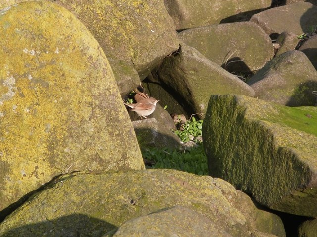 No hiding; Whitethroat feeding on the rocks