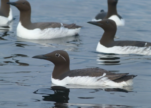 Guillemots having a reasonable season on the May despite the weather