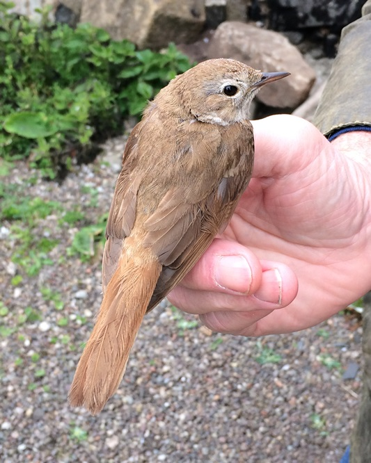 A real island rarity: Common Nightingale discovered late afternoon