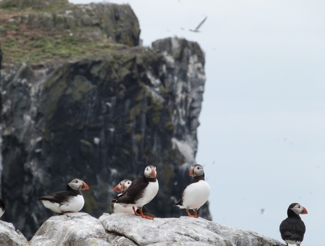 And not forgetting thousands of Puffins...