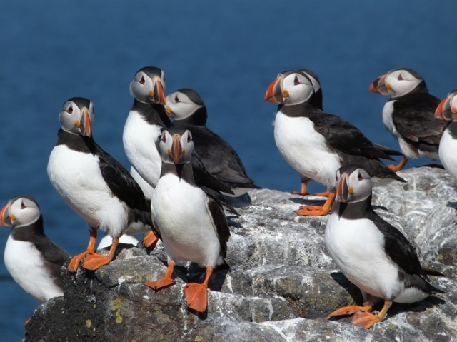 The month of June is an excellent time to see Puffins on the May