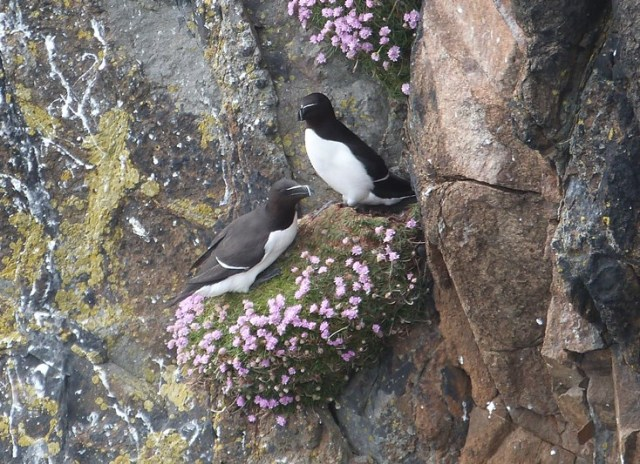 Whatever those Arctic terns can do, those Razorbills will copy...
