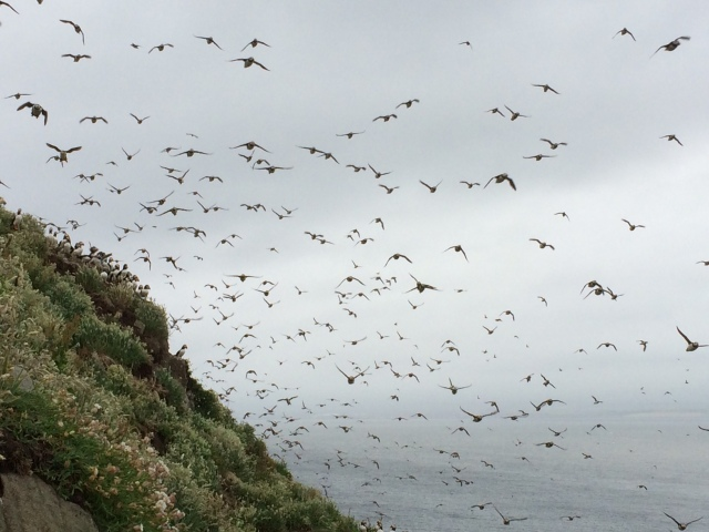 Impressive. Huge numbers of Puffins on display on the Isle of May at this moment