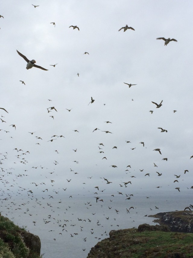 Insects? rain? No Puffins galore...