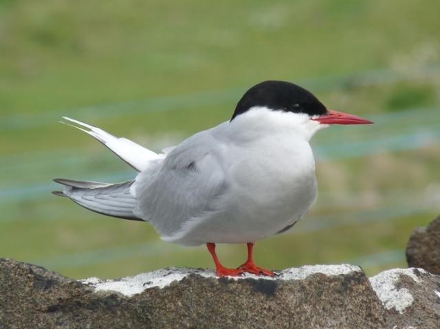 Arctic Tern adult1