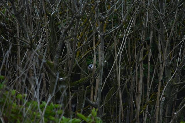 Male Red-backed Shrike hiding in the Elders.