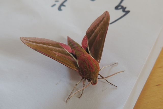 The impressive Elephant Hawkmoth