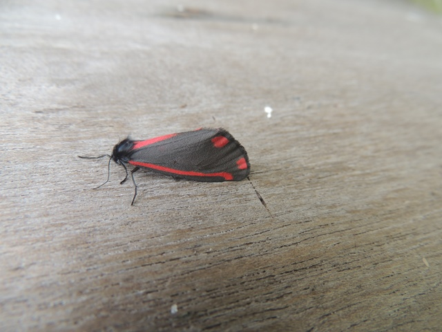 A Cinnabar, one of the few on the island that we see during the day.