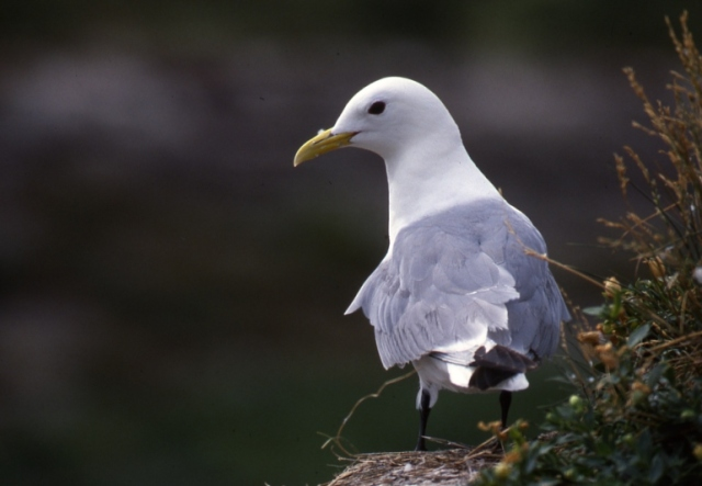 Adult Kittiwake on the Isle of May