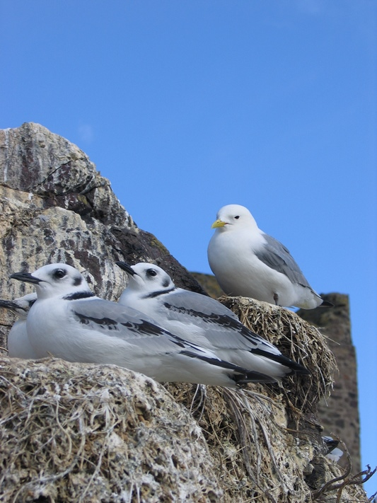 Kittiwake chicks; three youngsters and an adult