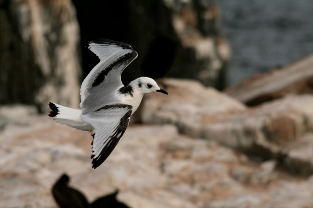 Not quite like an adult; Kittiwake fledgling
