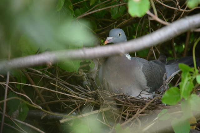 Not one but TWO Woodpigeons' nests!