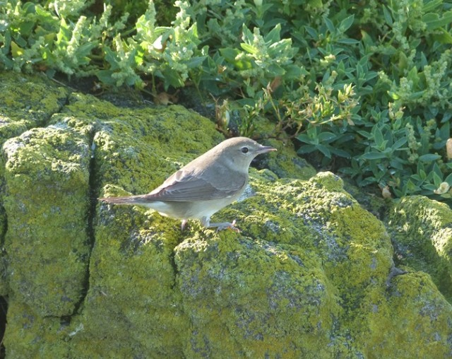 No tree cover here! Garden Warbler showing well.