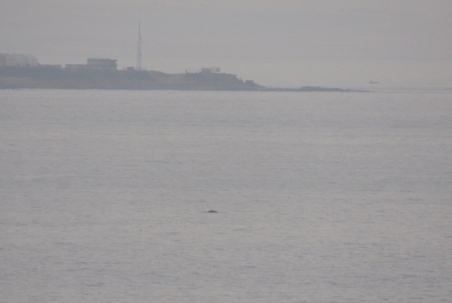 A distant record shot of this mornings Humpback Whale but a distinct profile with dorsal fin (Bex Outram)