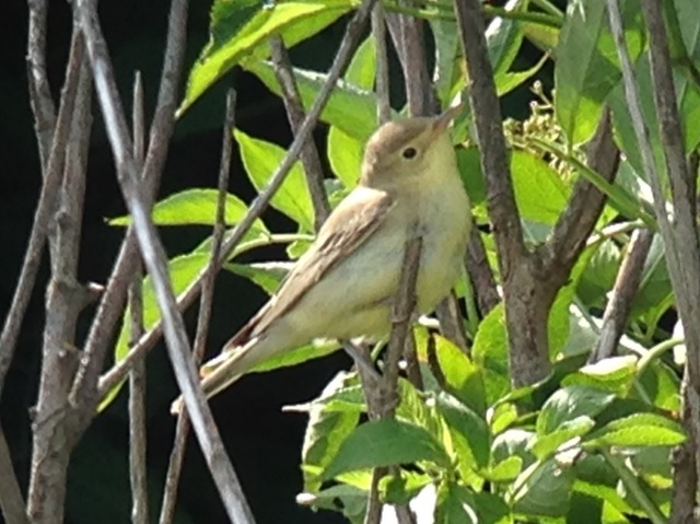 One of three Icterine Warblers still with us today (Steve Addinall)