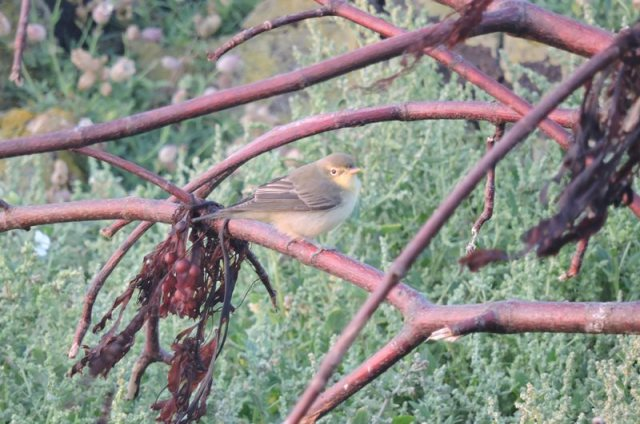 Rare find; One of four Icterine Warblers present (Iain English)