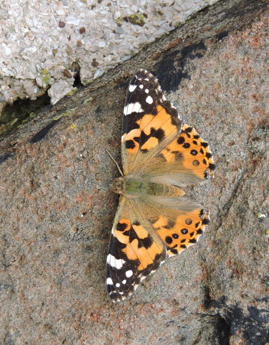 Not just birds; lots of migratory Painted Lady Butterflies moving through the island (Iain English)