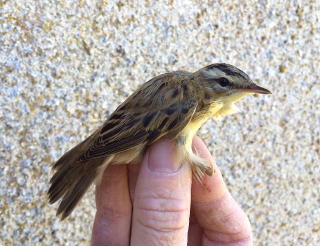 Sedge Warbler on its way to sub-Saharan Africa