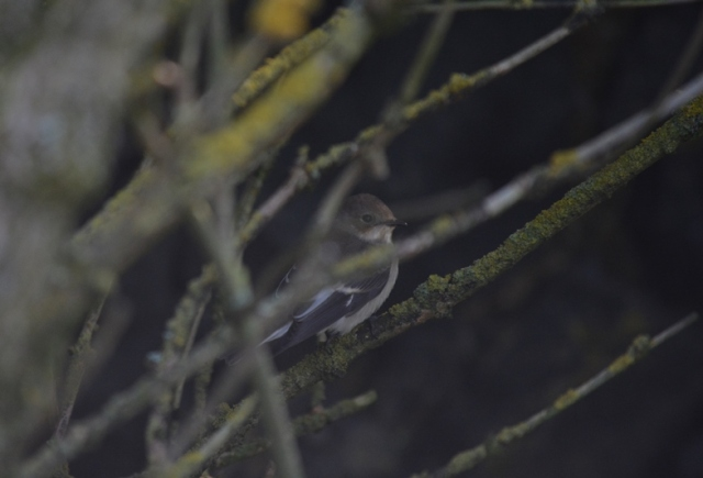 One of up to 40 Pied Flycatchers present on the Isle of May (Bex Outram)