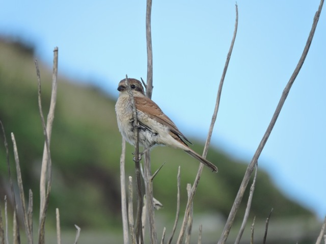 Our third Red-backed Shrike of the autumn arrived today and showed well (Iain English)